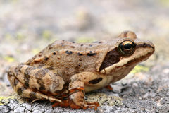 Brown Frog Rana Temporaria Royalty Free Stock Image