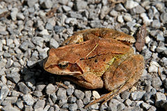 Brown frog - Rana temporaria. Closeup of a brown frog - Rana temporaria Stock Photo
