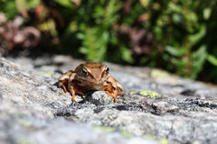 Brown frog on a rock. Head front close up view of a brown common frog sunbathing on a rock, green background Royalty Free Stock Photos