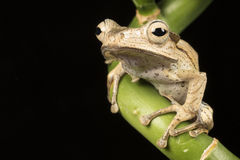 Brown frog sitting on bamboo branch Royalty Free Stock Photo