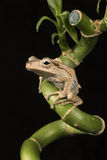 Brown frog sitting on bamboo branch Royalty Free Stock Images