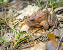 Brown frog sitting on the ground close-up. stock photography