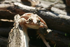 Brown frog. A brown frog sitting on wood and insects lurking Stock Photography