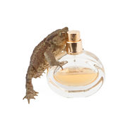 Brown frog smelling parfumes Royalty Free Stock Photo