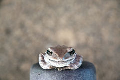 Brown frog smile Royalty Free Stock Image