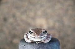 Brown frog smile Royalty Free Stock Image