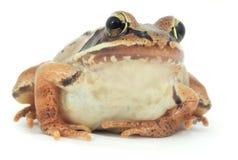 Brown frog studio shot on white background macro closeup Stock Image