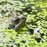 Brown Frog Surrounded by Green Floating Pants on Water Stock Photo
