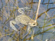 Brown toad in water, Lithuania Royalty Free Stock Images