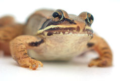Brown frog on white background, wood frog closeup Stock Image