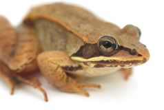 Brown frog on white background, wood frog studio closeup Royalty Free Stock Photos