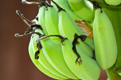 Brown frogs on bananas . Royalty Free Stock Image