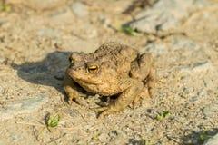 Brown-Frosch Lizenzfreies Stockfoto