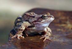Brown-Frosch Lizenzfreie Stockfotografie