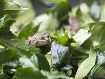 Brown-Frosch auf den Blättern Stockbild