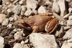 Brown-Frosch auf steinigem Boden Lizenzfreie Stockfotos
