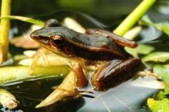 Brown-Frosch im Teich Stockbilder