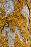 Brown fungus on a tree bark Stock Photography