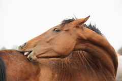 Brown funny horse scratching itself portrait Royalty Free Stock Photography