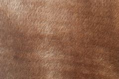 Brown fur Royalty Free Stock Photo