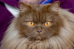 Brown fur orange eyes cat portrait Stock Image