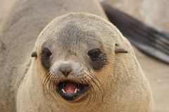 Brown Fur Seal Stock Photos