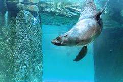 Brown Fur Seal. Under water stock images
