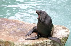 Brown Fur Seal. Yawning male Brown Fur Seal, sitting on a stone Stock Images