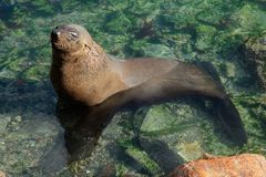 Brown fur seal. Brown (Cape) fur seal (Arctocephalus pusillus) in shallow water, South Africa stock photography