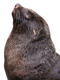 Brown fur seal Stock Photo