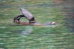 Brown fur seal, Arctocephalus p. pusillus Stock Images