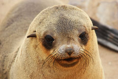 Brown Fur Seal (Arctocephalus pusillus) Stock Photo