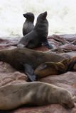 Brown Fur Seal (Arctocephalus pusillus) Stock Images