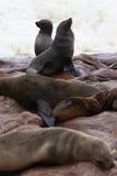 Brown Fur Seal (Arctocephalus Pusillus) Stock Images