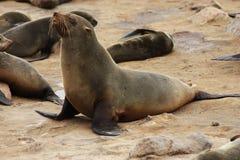 Brown Fur Seal (Arctocephalus Pusillus) Royalty Free Stock Photos