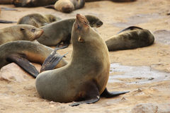 Free Brown Fur Seal (Arctocephalus Pusillus) Stock Photo - 13895200