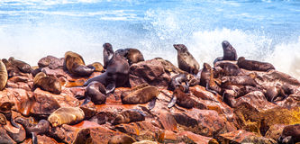 Brown fur seal, Arctocephalus pusillus, colony at Cape Cross in Namibia, Africa Royalty Free Stock Images