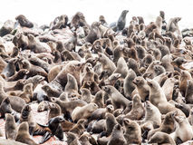 Brown fur seal, Arctocephalus pusillus, colony at Cape Cross in Namibia, Africa Stock Photos