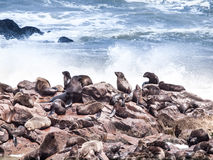 Brown fur seal, Arctocephalus pusillus, colony at Cape Cross in Namibia, Africa Royalty Free Stock Photo