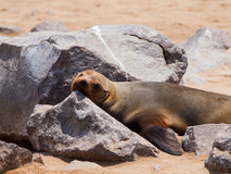 Brown Fur Seal (Arctocephalus pusillus) Royalty Free Stock Photos