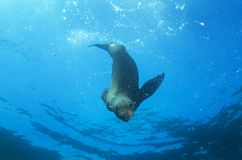 Brown fur seal, arctocephalus pusillus, South Africa Royalty Free Stock Photography
