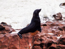 Brown Fur Seal (Arctocephalus pusillus) Stock Image