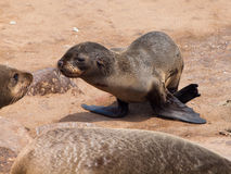 Brown Fur Seal (Arctocephalus pusillus) Royalty Free Stock Photo