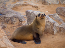 Brown Fur Seal (Arctocephalus pusillus) Royalty Free Stock Photography