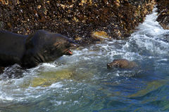 Brown fur seal Royalty Free Stock Image