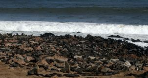 Brown seal colony in Cape Cross, Africa, Namibia wildlife stock video