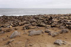 Brown fur seal colonies in the foreground young cros Cape, NamibiaBrown fur seal colonies in the foreground young cros Cape, Namib Stock Image