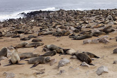 Brown fur seal colonies in the foreground young cros Cape, NamibiaBrown fur seal colonies in the foreground young cros Cape, Namib Stock Photography