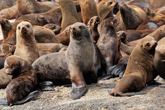 Brown fur seal colony Royalty Free Stock Image