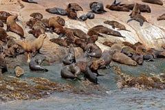 Brown fur seal colony Stock Image
